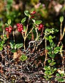 Cowberries at Rejdemyr lake in Kolleröd.jpg