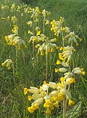 Cowslips - geograph.org.uk - 1267001
