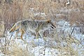 Coyote (24852388256).jpg