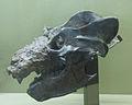 Cráneo y mandíbula de un Exaeretodon.jpg
