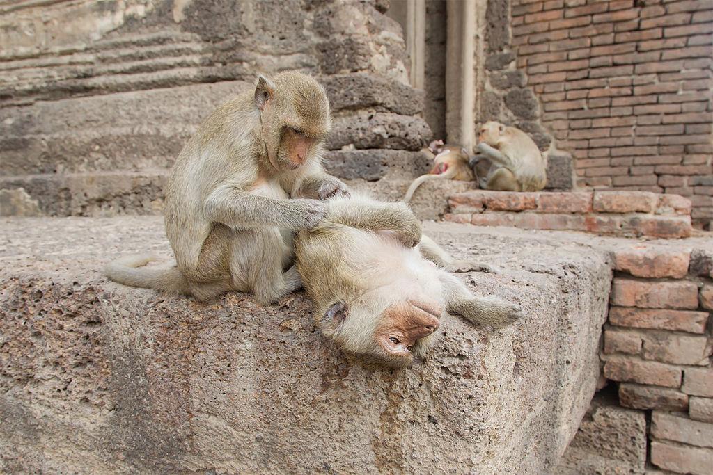 Macaques à Lopburi en Thailande - Photo de JJ Harrison
