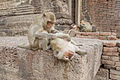 Crab-eating macaque 1 - Lop Buri.jpg