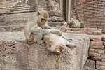 File:Crab-eating macaque 1 - Lop Buri.jpg