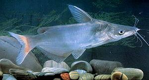 Cranoglanis - Cranoglanis bouderius