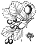 Crataegus irrasa as C. oakesiana.png