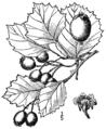 Crataegus irrasa as C. oakesiana.png
