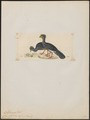 Crax globulosa - 1820-1860 - Print - Iconographia Zoologica - Special Collections University of Amsterdam - UBA01 IZ16900077.tif