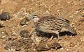 Crested Francolin, Dendroperdix sephaena, feeding in dung at Pilanesberg National Park, Northwest Province, South Africa (29859555265).jpg