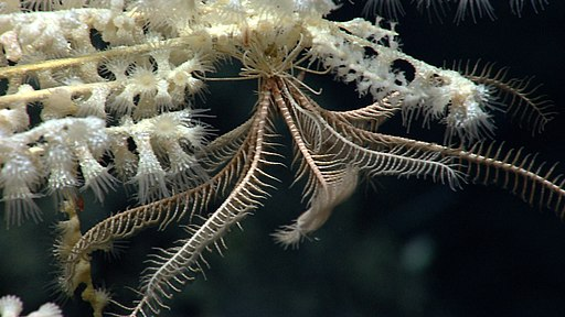 Crinoid - Mytilus Seamount