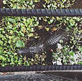 Crocodile living comfortable in the water but it is a semiaquatic reptile.jpg
