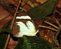 Cross-barred White, Tambopata.jpg