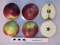 Cross section of Telamon, National Fruit Collection (acc. 1996-073).jpg