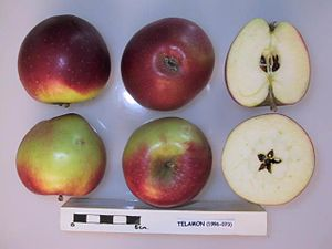 East Malling Research Station - Telamon apple, cross-sectioned, NFC description: Raised in 1976 at East Malling Research Station, East Malling, Kent. Introduced in 1989. Fruits are sweet, crisp and juicy