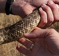 Crotalus oreganus helleri - Southern Pacific Rattlesnake (10304876065).jpg