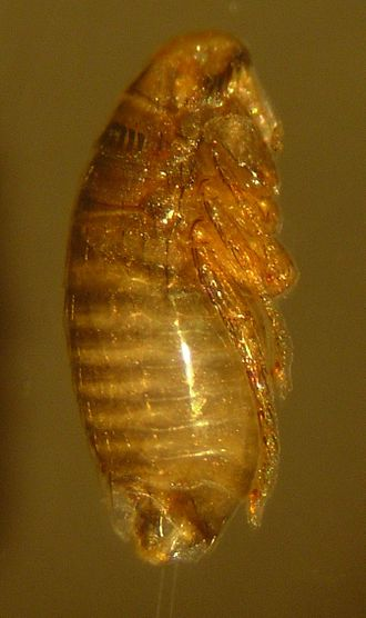 Cat flea - A nymph that has had its cocoon removed