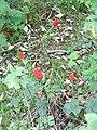 Cuckoo-pint (Arum maculatum), Compton Down - geograph.org.uk - 1452088.jpg