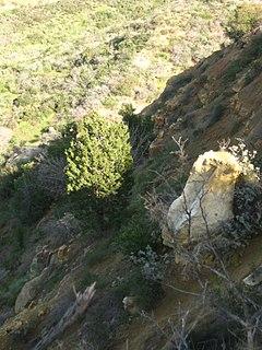 <i>Cupressus forbesii</i> Species of conifer