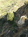 Cupressus forbesii Survivor Tree Coal Canyon.JPG