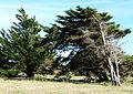 Cupressus macrocarpa 17.jpg