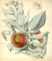 Curtis's Botanical Magazine, Plate 4333 (Volume 73, 1847).png