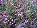 Cuscuta Epiphymum op de hei van Camping de Hoogte - panoramio.jpg