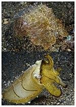 体色が劇的に変化したコブシメの2枚の写真