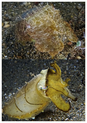 Cephalopod - This broadclub cuttlefish (Sepia latimanus) can change from camouflage tans and browns (top) to yellow with dark highlights (bottom) in less than a second.