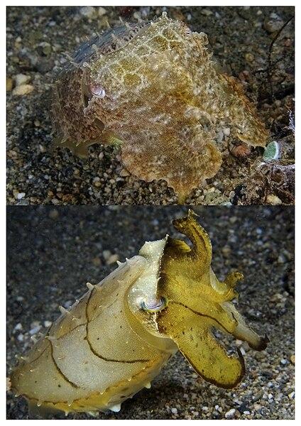Sépie sú morské mäkkýše