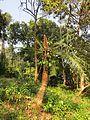 Cycas circinalis at Mayyil (3).jpg