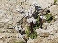Cyclamen persicum - Persian cyclamen 01.jpg