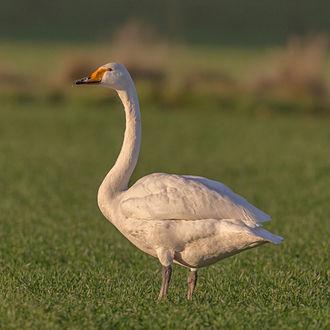 Whooper swan - Image: Cygnus cygnus Singschwan