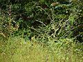 Cynoglossum lanceolatum Forssk. (6226069212).jpg