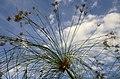 Cyperus papyrus-pjt4.jpg
