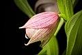 Cypripedium macranthos '-1905 Kawai' Sw., Kongl. Vetensk. Acad. Nya Handl. 21 251 (1800) (34000456858).jpg