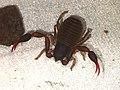 Dactylochelifer latreillii (36793122250).jpg