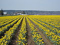 Daffodil field, Skagit Valley, Washington, USA.jpg
