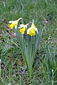 Daffodils, Myddelton House Garden, Enfield - geograph.org.uk - 2279694.jpg