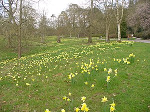 English: Daffodils Below Breakheart Hill Grass...