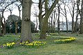 Daffodils at Chipstead - geograph.org.uk - 1227150.jpg