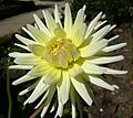 Dahlia 'Shooting Star'.jpg