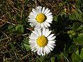 Daisy (Bellis perennis).jpg