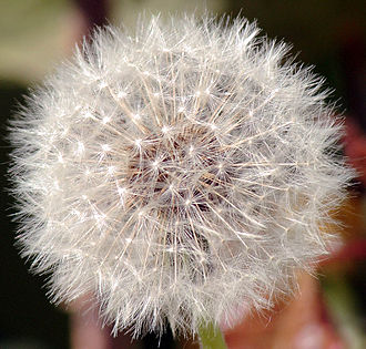 Taraxacum officinale - Ripe fruits