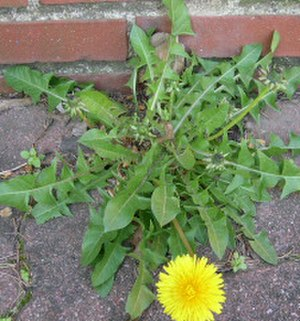 Rosette (botany) - A rosette of leaves at the base of a dandelion