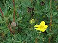Dasiphora fruticosa (15396612872).jpg