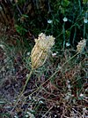 Daucus carota - Άγριο καρότο 02.jpg