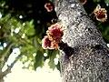 Davidsonia jerseyana flower2.JPG