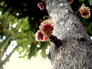 Davidsonia - Image: Davidsonia jerseyana flower 2