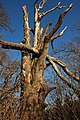 Dead tree in Croome Park - geograph.org.uk - 1119347.jpg