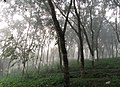 December Mist in the Rubber Plantation.jpg