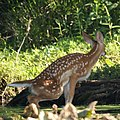 Deer (4737043482).jpg